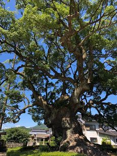 giant-Camphor-tree-takeo