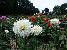 Machida Dahlia Garden